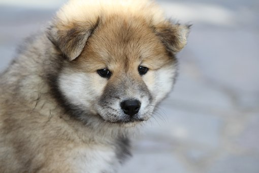 eurasier-puppy-1920816__340